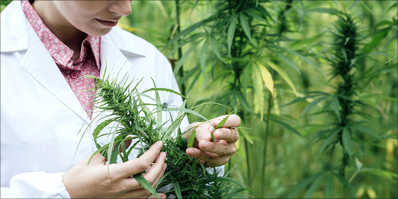 post-image-Australia Approves The Legalization Of Hemp For Human Consumption
